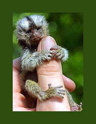 Baby Finger Monkey Green Border Art Print by L Brown