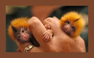Baby Finger Monkeys Brown Border Art Print by L Brown