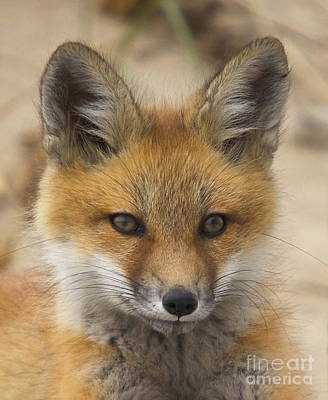 Photograph - Baby Fox  by Amazing Jules