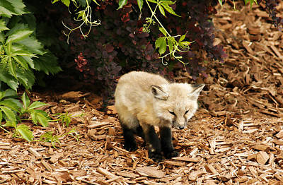 Photograph - Baby Fox Kit by Marilyn Hunt