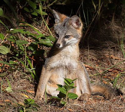 Baby Fox Sunning Print by Kathleen Bishop