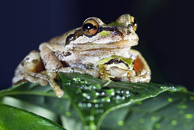 Photograph - Baby Frog And Mama Frog by William Lee