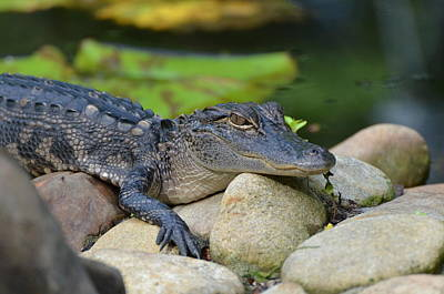 Photograph - Baby Gator by Jodi Terracina