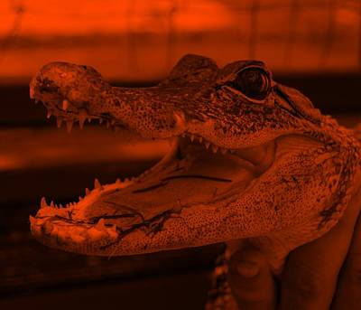 Still Life Royalty-Free and Rights-Managed Images - Baby Gator Orange by Rob Hans