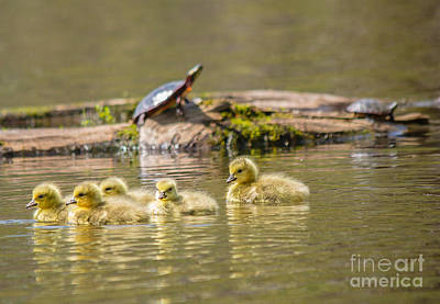 Photograph - Baby Geese by Cheryl Baxter