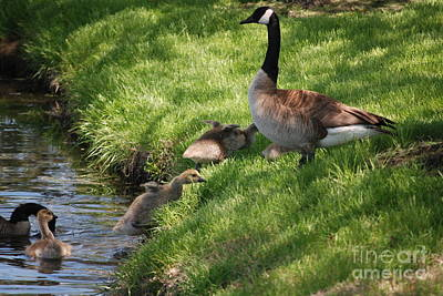 Photograph - Baby Geese Coming Out Of Lake by Mark McReynolds