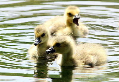 Photograph - Baby Geese by Diane Rada