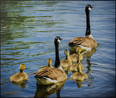 Photograph - Baby Geese by LeeAnn McLaneGoetz McLaneGoetzStudioLLCcom