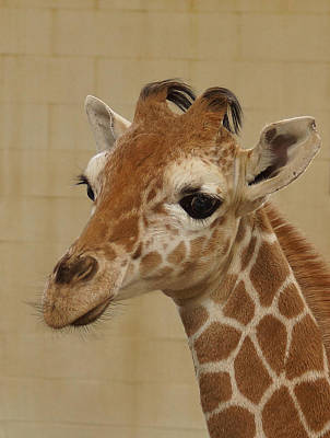Photograph - Baby Giraffe by Ernie Echols