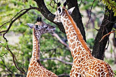 Photograph - Baby Giraffes by Perla Copernik