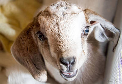 Photograph - Baby Goat Face by Natalie Rotman Cote