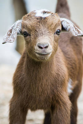 Photograph - Baby Goat by Shelby  Young