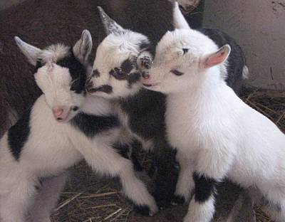 Baby Goats 1742 Art Print by Carol Hoffman