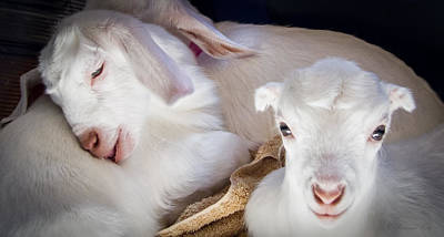 Photograph - Baby Goats Napping by Natalie Rotman Cote