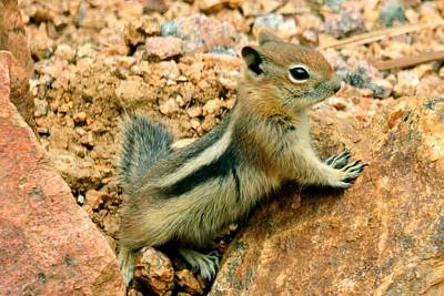 Photograph - Baby Golden-mantled Ground Squirrel by Marilyn Burton