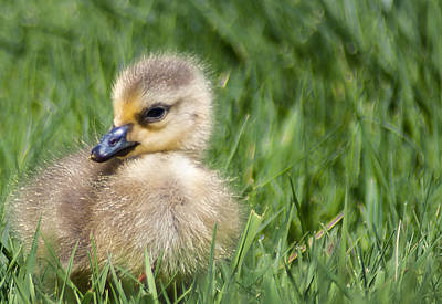 Mother Goose Digital Art - Baby Goose by Optical Playground By MP Ray