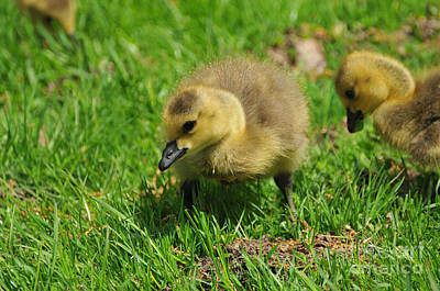 Baby Bird Photograph - Baby Goose Too Cute by Paul Ward