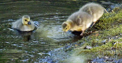 Photograph - Baby Goslings Shoreline by Brenda Brown