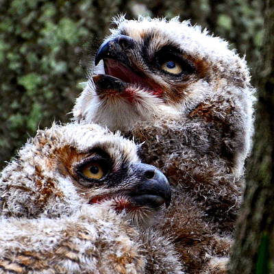 Photograph - Baby Great Horned Owl Twins by AnnaJo Vahle