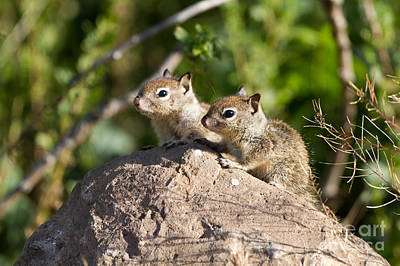 Photograph - Baby Ground Squirrels by Martha Marks
