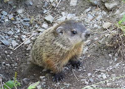 Photograph - Baby Groundhog by Lucinda VanVleck