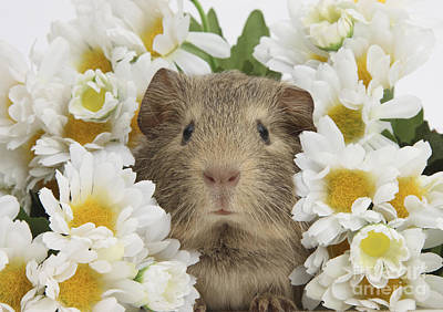 Photograph - Baby Guinea Pig Among Daisy Flowers by Mark Taylor