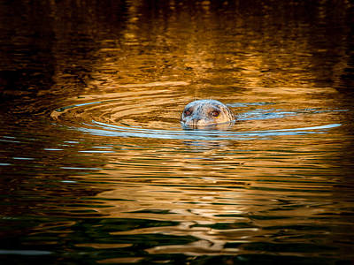 Photograph - Baby Harbour Seal At Twilight by Kasandra Sproson