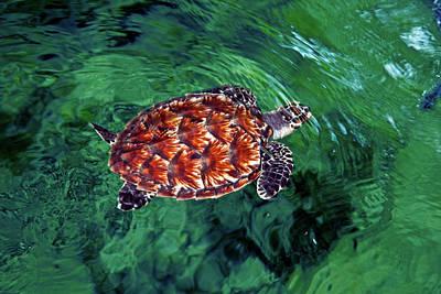 Baby Hawksbill Turtle (eretmochelys Art Print by Miva Stock