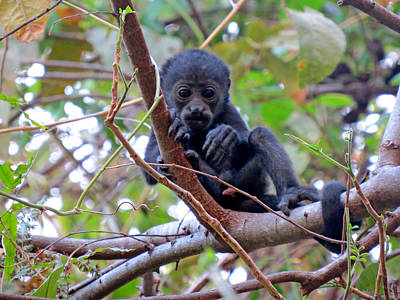 Baby Howler Monkey  Art Print by Melanie Beckler