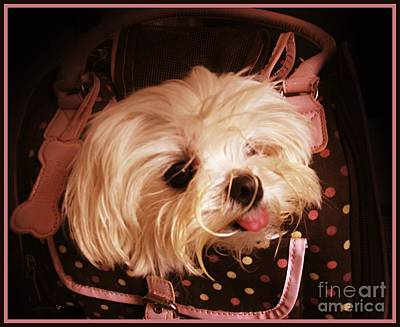 Maltese Photograph - Baby In A Bag Maltese Puppy by Margaret Newcomb