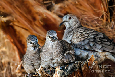 Haybales Photograph - Baby Inca Doves by Robert Bales