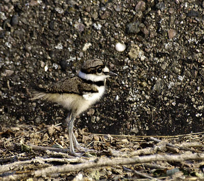 Killdeer Photograph - Baby Killdeer 1 by Thomas Young