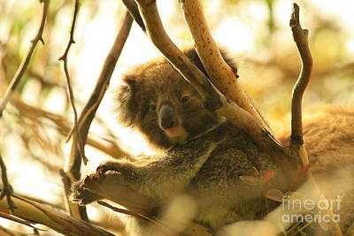 Photograph - Baby Koala by Crystal Magee