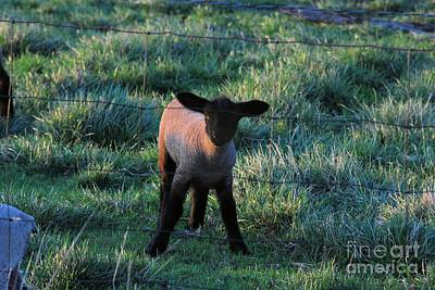 Photograph - Baby Lamb by Mark McReynolds