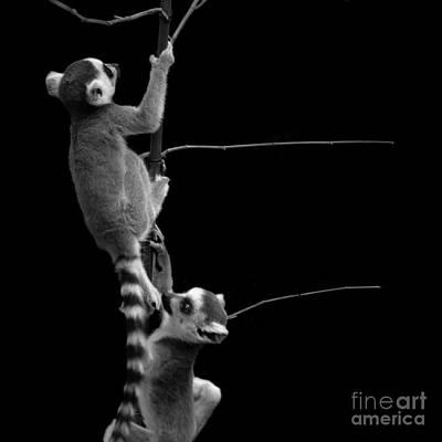Baby Lemurs Escaping Original