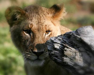 Photograph - Baby Lion by Gigi Ebert