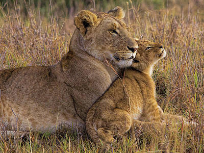 Lioness Wall Art - Photograph - Baby Lion With Mother by Henry Jager