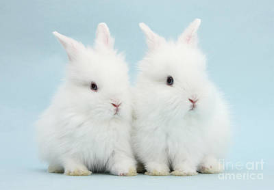 Photograph - Baby Lionhead Bunnies by Mark Taylor