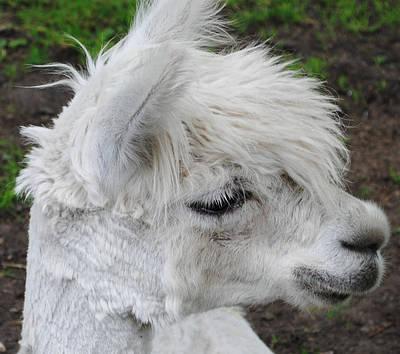Llama Photograph - Baby Llama by Ellen Henneke