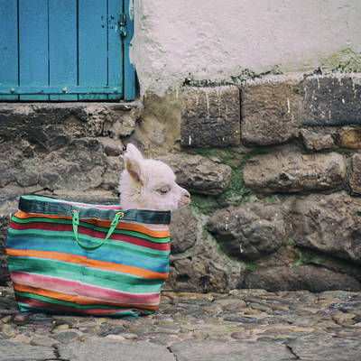 Llama Photograph - Baby Llama In A Handbag by Chris Carruth