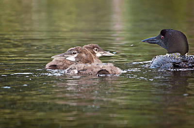 Loons Photograph - Baby Loons And Mom by Donna Doherty