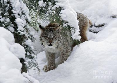 Baby Lynx Hiding In A Snowy Pine Forest Art Print