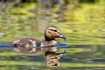 Photograph - Baby Mallard by Kathleen Bishop