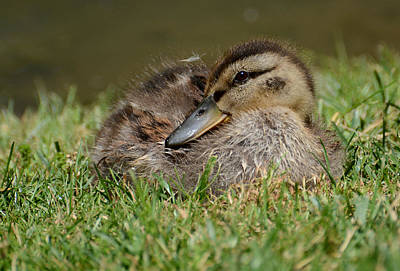 Baby Mallards Photograph - Baby Mallard by Todd Hostetter