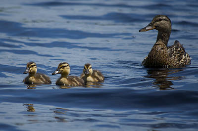 Photograph - Baby Mallards And Mother by Greg Vizzi