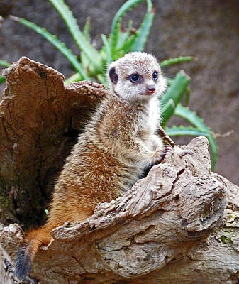 Photograph - Baby Meerkat On Sentry Duty by Margaret Saheed