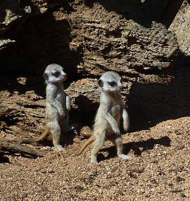 Photograph - Baby Meerkats Exploring Their World by Margaret Saheed