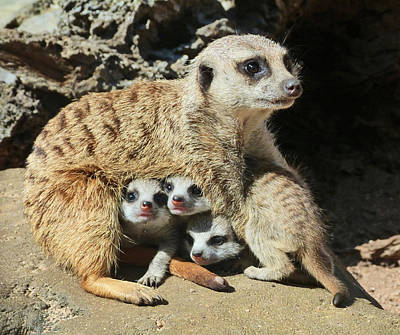 Photograph - Baby Meerkats View The World by Margaret Saheed