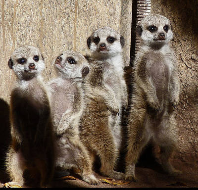 Photograph - Baby Meerkats With Attitude by Margaret Saheed
