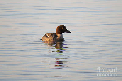 Photograph - Baby Merganser by Mary Mikawoz